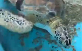 Allison - turtle