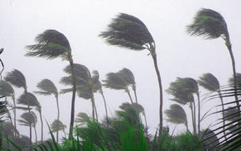 Palm trees bent in the wind