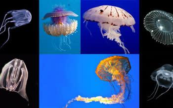2020-jelly-vs-jellyfish