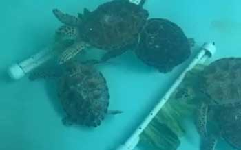 Sea turtles patient-enrichment