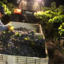 Harvesting Grapes In Temecula Valley (Night)
