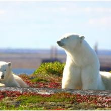 Polar bear viewing at a Churchill Nature Tour