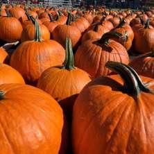 Pumpkins at Altamont Orchards