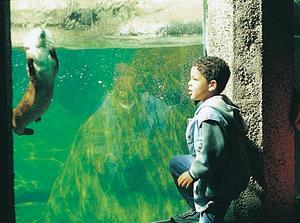 young boy watching sea otter at Seattle Aquarium