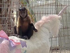 Cady the capuchin monkey sitting on stuffed unicorn at Octagon Wildlife Sanctuary