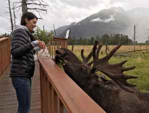 A guest on the behind-the-scenes tour at Alaska Wildlife Conservation Center feeds branches to a bull moose.