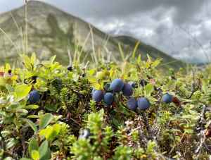 Arctic Valley Blueberries