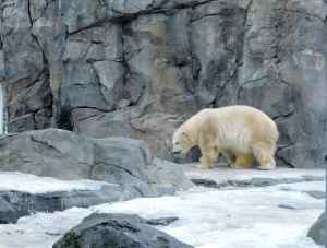Polar bear at the Alaska Zoo