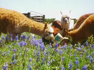 Alpacas at Peach Creek Windery