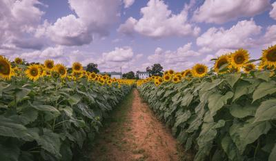 Sunflowers Clear Meadow Farm 2