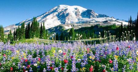 Wildflowers at Paradise at Mount Rainier