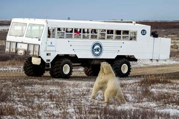 Choose your adventure level: ways to view polar bears in Churchill during the fall migration