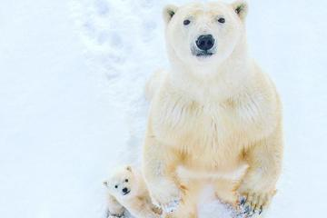 20 polar bear photos that will inspire and amaze you