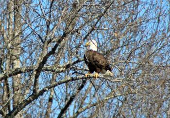 Bird- Bald Eagle
