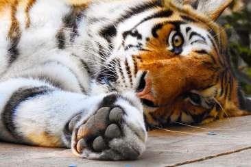 Oakland Zoo Tiger