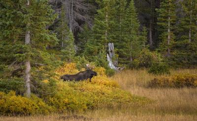 Moose Laramie Wyoming
