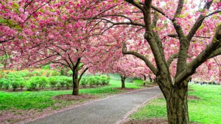 Cherry Esplanade. Photograph - Antonio M Rosario; Courtesy Brooklyn Botanic Garden