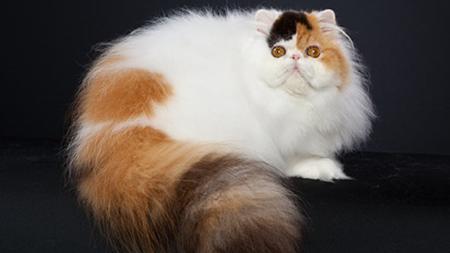Indy Cat Show