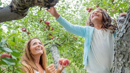 U-pick apples at Beasley's Orchard