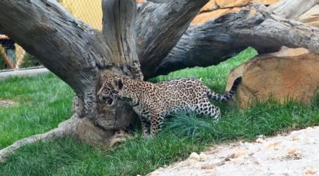 Elmwood Park Zoo Jaguar