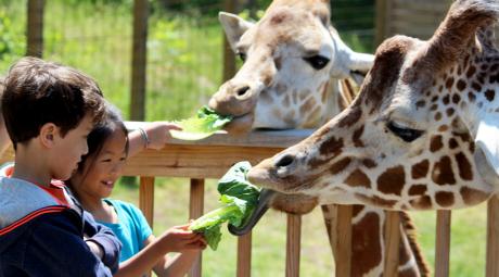Elmwood Zoo Giraffe