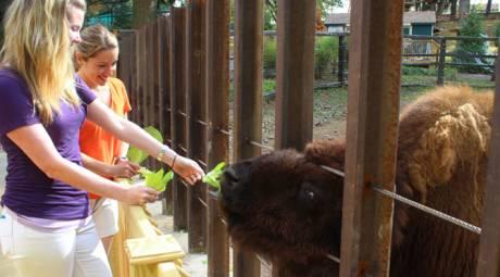 Valley Forge Park - Bison Feeding