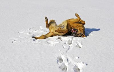 Dog rolling in the snow on his back