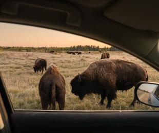 Watching bison through the car window at Riding Mountain National Park, Manitoba