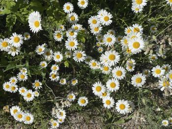 Daisies at Alligator Hill