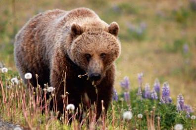 Bear Bart Hend