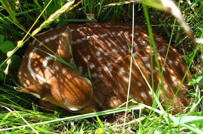 Whitetail fawn hiding in the grass