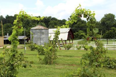 Catawba Farms Vines