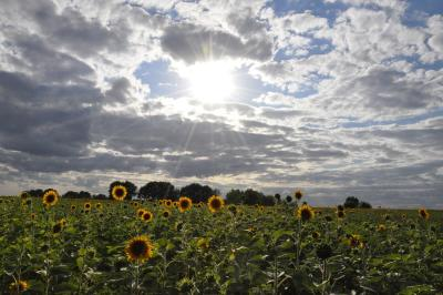 Hart Square Sunflower Festival