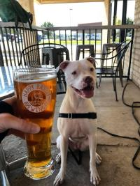 A pitbull next to its owner's brew at Happy Basset Brewing Company