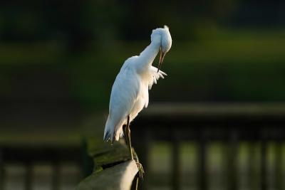 Juvenile Blue Heron on IG Levy Pascagoula - Gary Herritz
