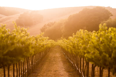 Sunrise filtered through a Sonoma Valley vineyard