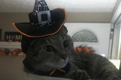 Cat wearing a witch hat