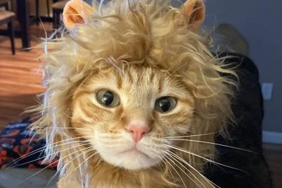 Cat dressed up as a lion
