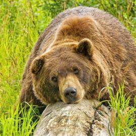Alaska Wildlife Conservation Center Brown Bear