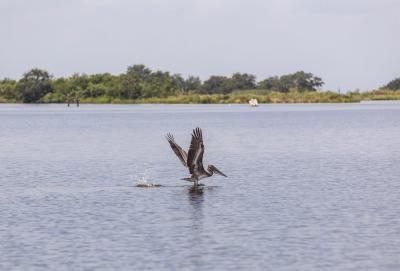 Total Cajun Experience - Pelican
