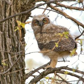 Baby Great Horned Owl - Bay City State Park