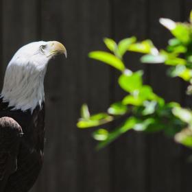 Bald Eagle - Saginaw Children's Zoo
