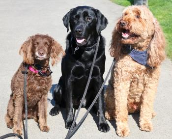 Three dogs sitting next to each other on leashes
