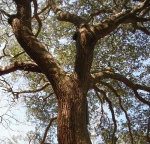 Miss Chrissy's Oak On Roanoke Island