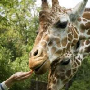 giraffe 300x225
