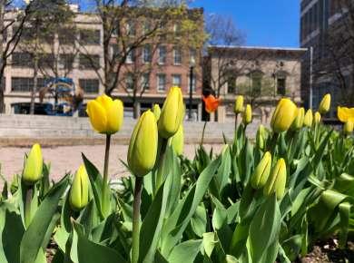 Tulips in Tricentennial Park