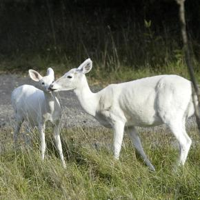 Two White Deer