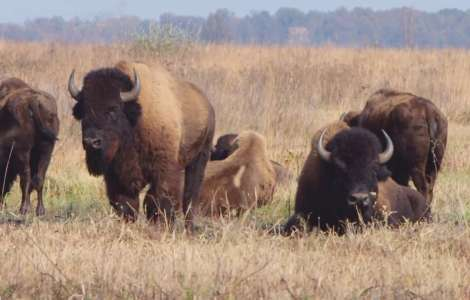 Bison at Kankakee Sands: Pioneers of the Prairie Landscape