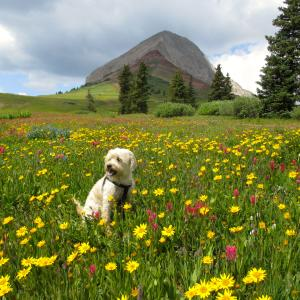 Dog in wildflowers at Engineer Mountain