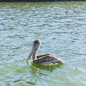 Brown Pelican in the Bay